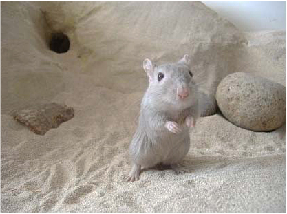 What should I do before buying a gerbil? - Quora