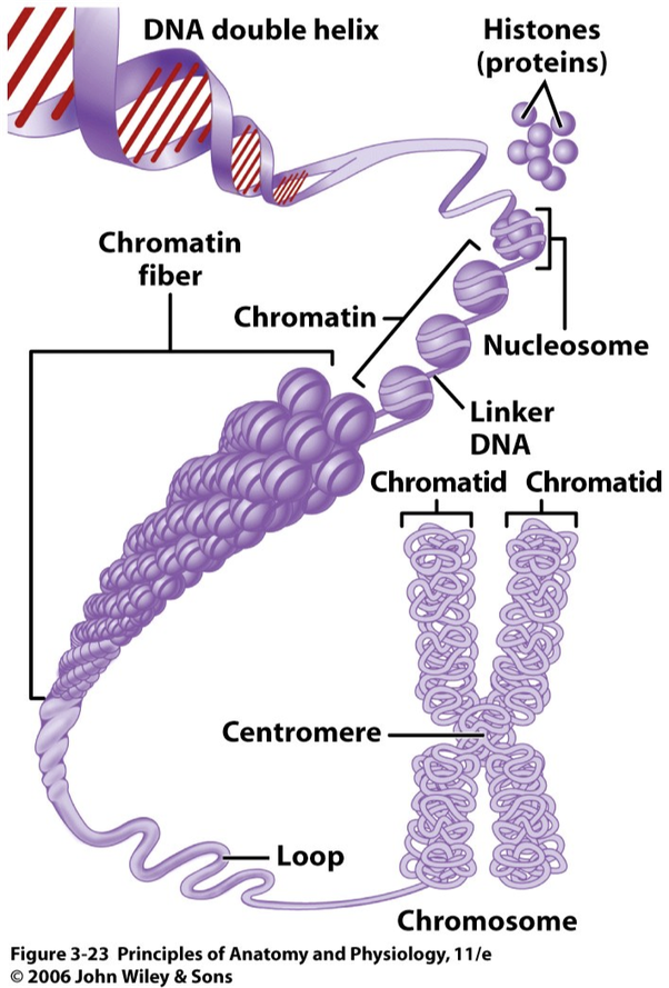 relationship between chromatids and chromosomes difference