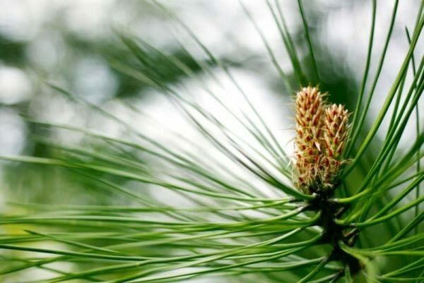 What are symptoms of a pine tree allergy? - Quora