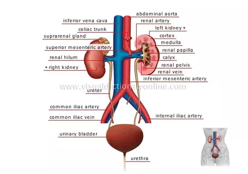 What are the 3 main functions of the kidneys quora one thing i do want to say is that when anyone suggests that there is a functional unit of the kidney they are massively oversimplifying these ccuart Image collections