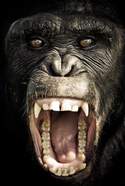 Full grown male Chimpanzee vs Game Male Pitbull which one ... - photo#1