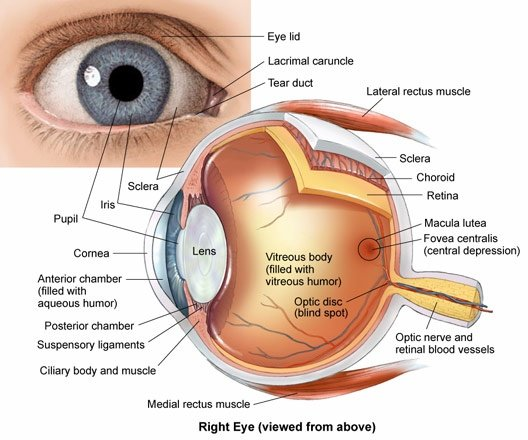How does the human eye work quora the eye consists of these major components 1 focusing region this is the left part of the diagram and includes the lens ccuart Gallery