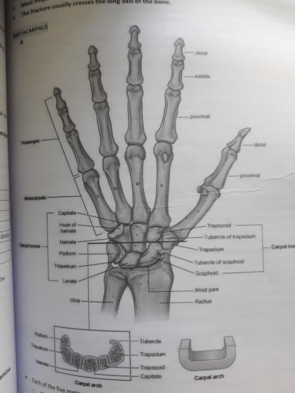 How Many Bones In A Hand Quora