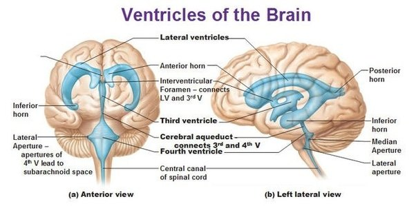 Diagram Of The Ventricles In The Brain Enthusiast Wiring Diagrams
