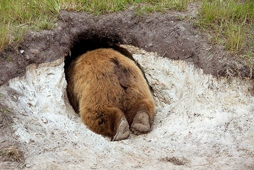 Image result for bear coming out of den