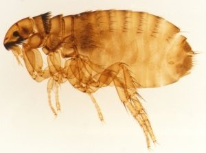 Insects What Is The Difference Between Fruit Flies And