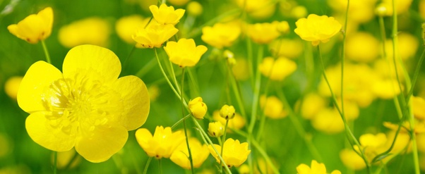 Which is correct an yellow flower or a yellow flower quora nothing is more beautiful in a north american springtime than the delicate petals of the buttercup traditionally children hold the flowers to each others mightylinksfo