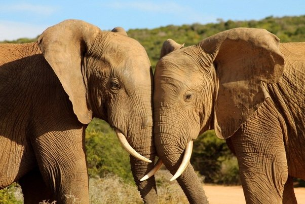 Elephant love dating