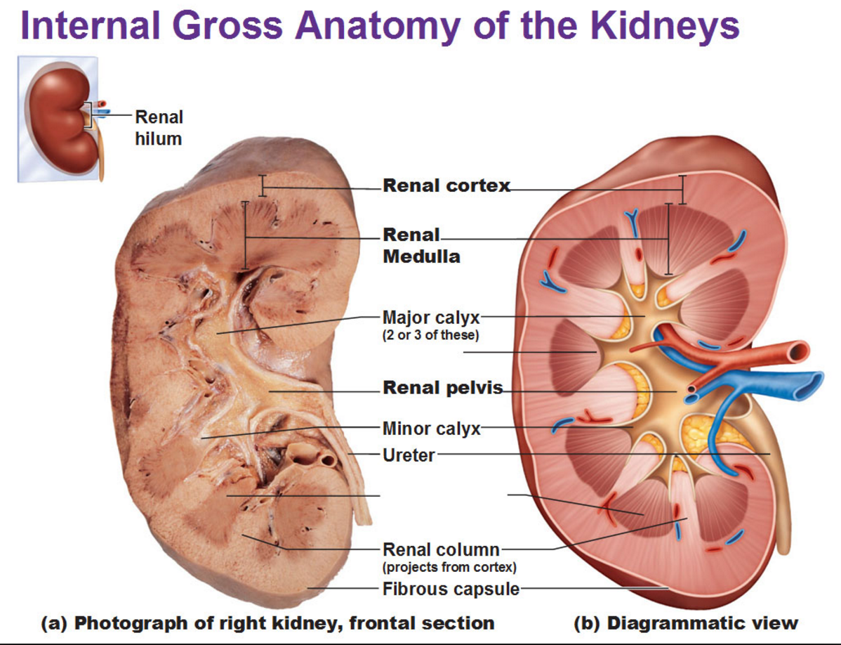 What Is The Function Of The Renal Medulla Where Is It Located Quora