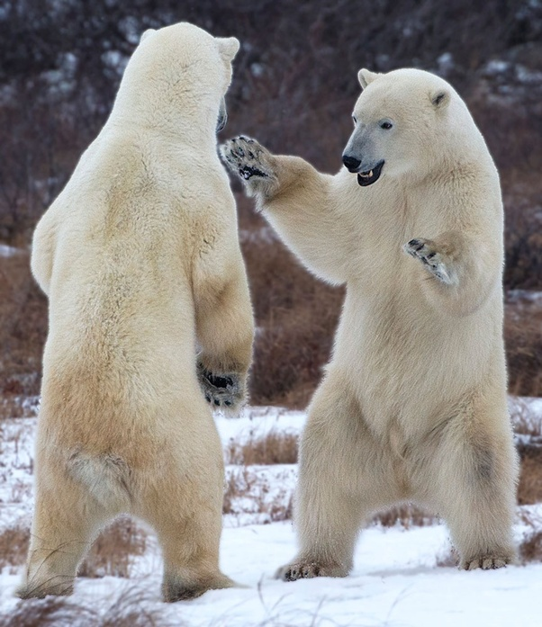 Which One Would Win A Polar Bear Or A Lion Quora