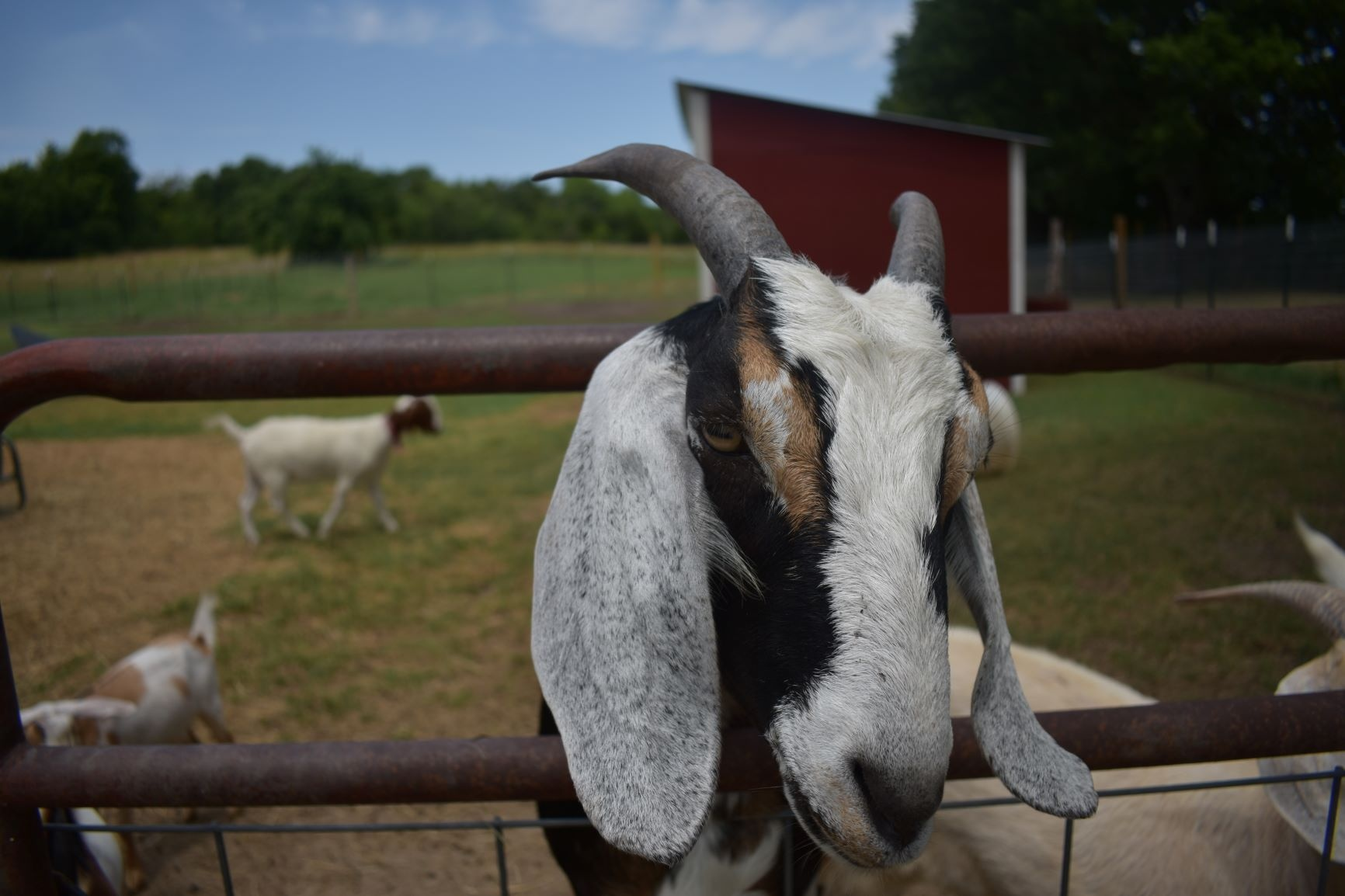 Male goats peeing on their heads can