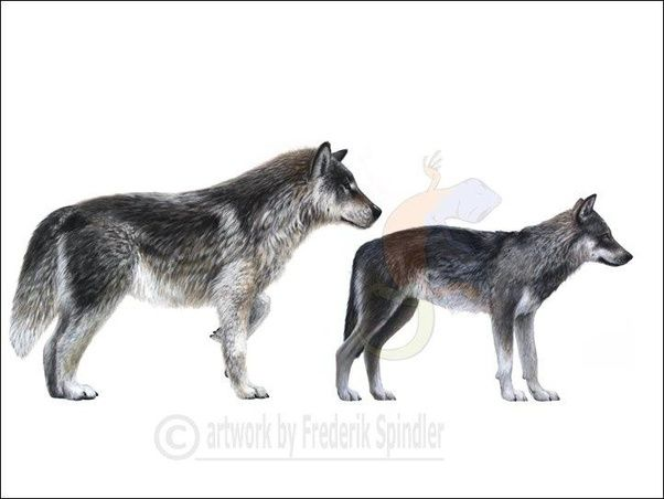 what is a dire wolf quora