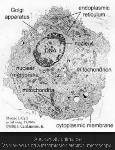 What does an animal cell look like under an electron microscope quora just google it heres one for you ccuart Gallery