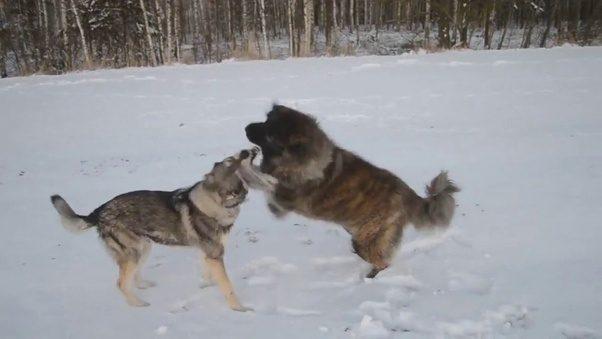 Dog Breed Comparison Strength