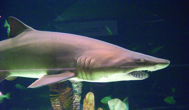 What is a sand shark are they dangerous to humans quora sand sharks can achieve buoyancy by storing surface air in their stomachs this enables them to stealthily come up on their prey while remaining silent and publicscrutiny Image collections