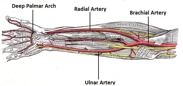 Image result for radial artery
