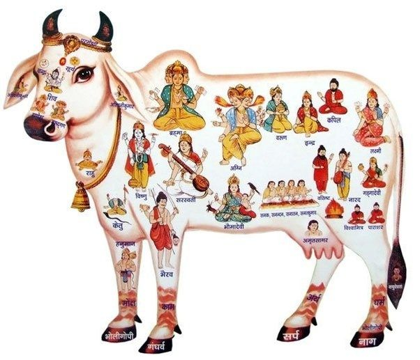 Why Are Cows Considered Holy Animals In Hinduismsanatana Dharma