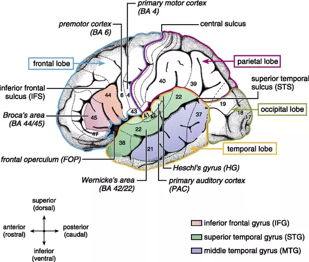 Where Is Language Stored In The Human Memory Quora