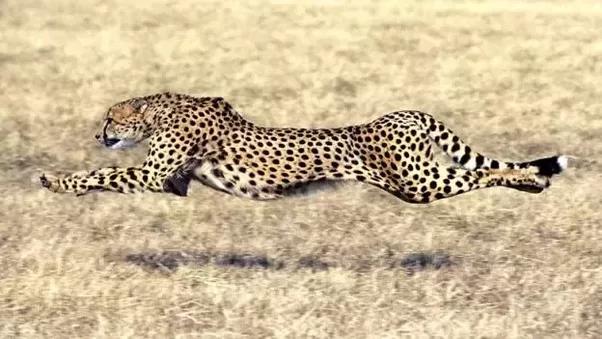 Big Cats Cheetah Facts