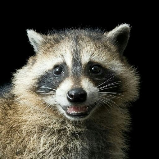 If A Non Rabid Raccoon Approaches You Appears Docile Is Already Familiar With You And Comes Close Enough To Touch Can You Pet It Quora