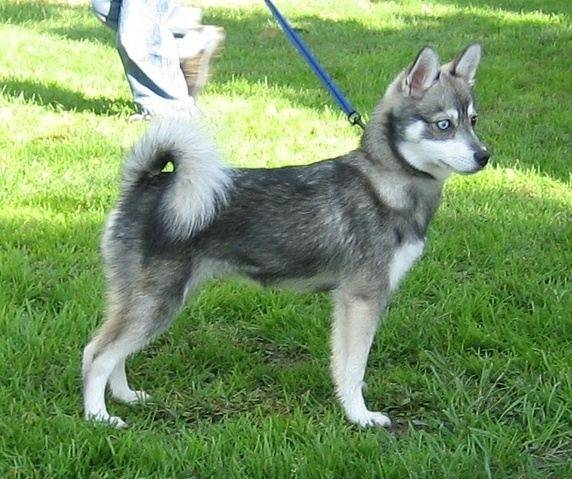 Super How big is a mini husky when full grown? - Quora SP14