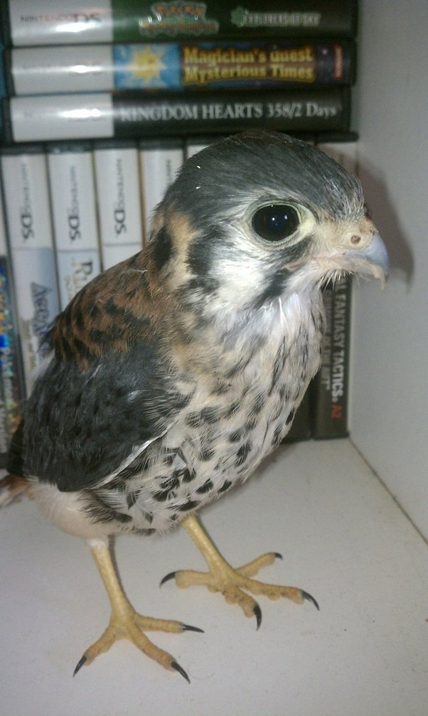 What Is A Baby Hawk Called Quora