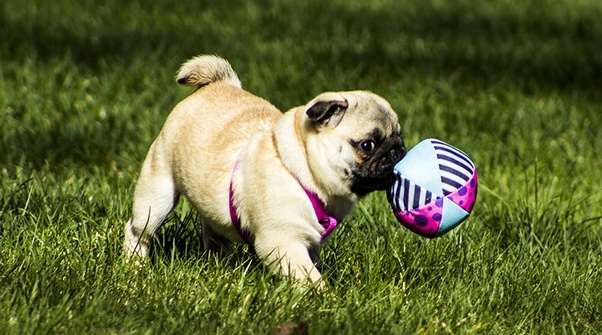 What Is The Cost Of A Baby Pug In India