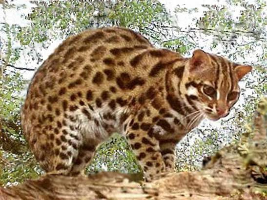 Are There Big Cats In The Philippines Quora