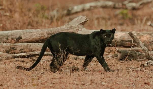 Where can we see black panthers in India? - Quora