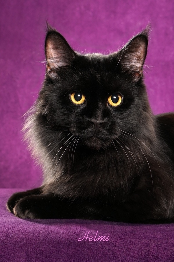 Can A Maine Coon Be Black Quora