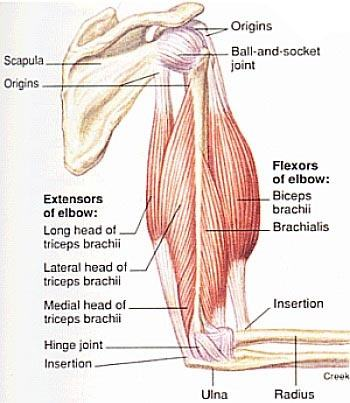What is the best way to train arm muscles? - Quora