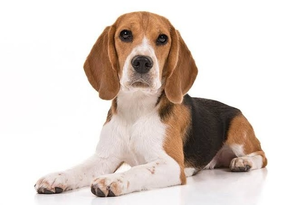 To Adopt A Beagle Puppy In Delhi Pet Search