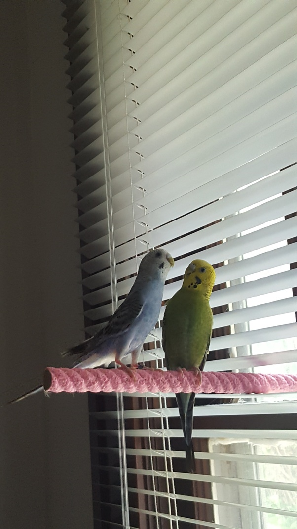 How to get my new pair of parakeets to socialize - Quora