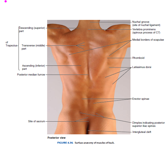 What Organs Are On The Right Side Of Your Back Quora