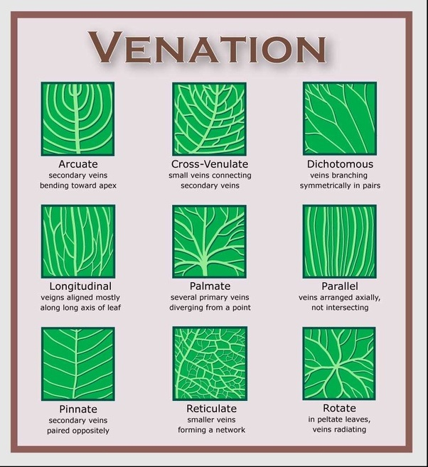 What is venation of a leaf? - Quora