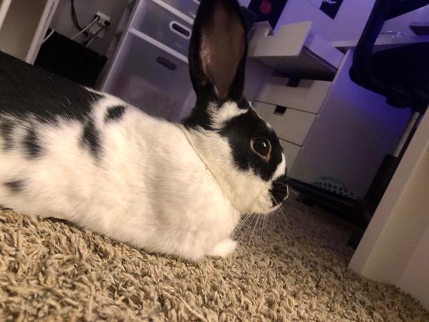 Do Rabbits Make Good Pets Quora