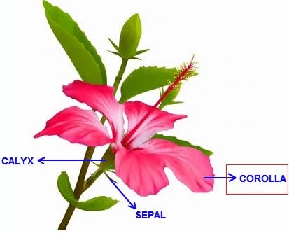 Which Outer Part Of A Flower Has A Small Leaf Like Structure Quora