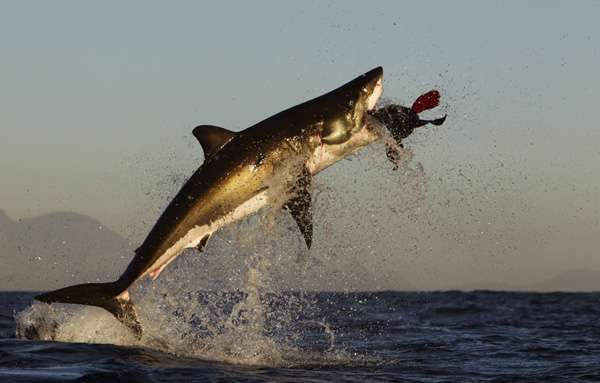 Why do Great White Sharks jump out of the water like