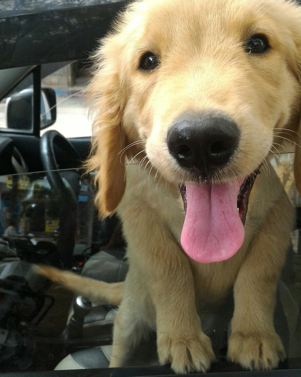 What Should Be The Price Of A Kci Registered Golden Retriever And