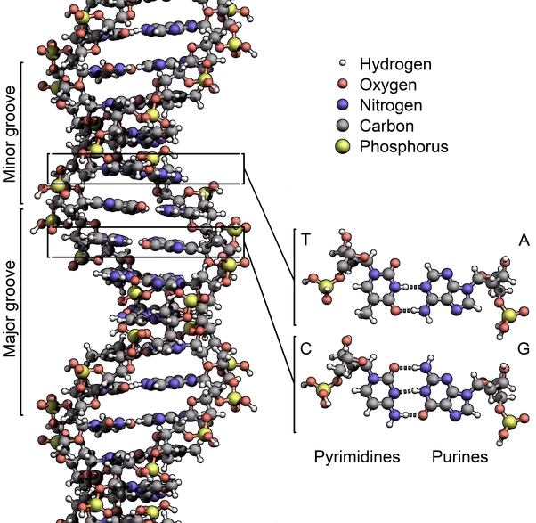 what determines the coded information of a dna molecule quora