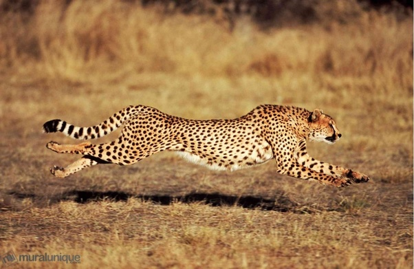 Is Any Animal Faster Than A Jaguar Quora