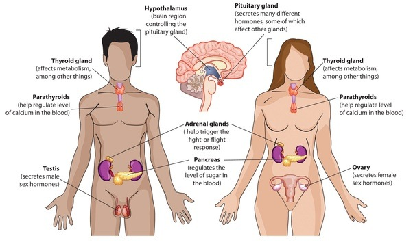 What is the link between the nervous and endocrine systems quora fig1 nervous system ccuart Choice Image