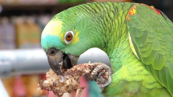 Image result for parrots baby food
