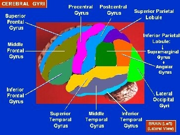 types and functions of gyri