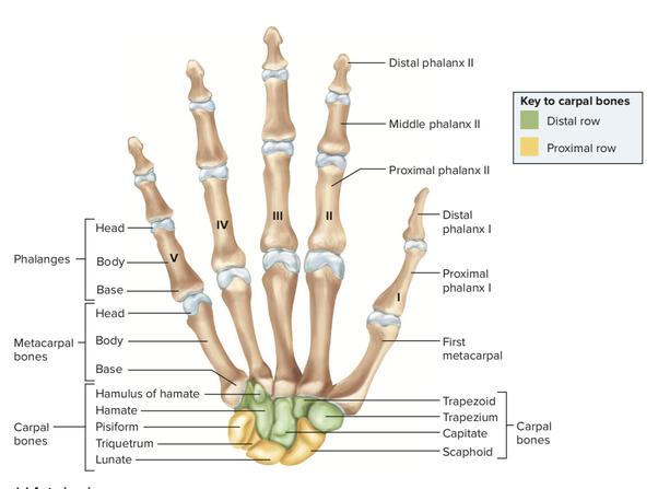 fuel tank filler neck diagram how many bones are in the metacarpals of the human body ... broken neck diagram