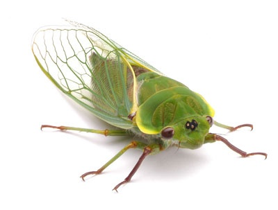 What insect makes a high pitched noise? - Quora