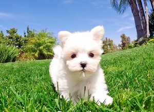 To Maltese Puppies At Er Cost I Will Recommend You Visit Dogs For