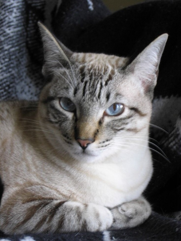 How Big Does A Lynx Siamese Get Quora