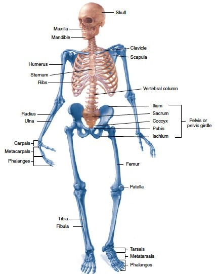 What Bones Are Included In The Axial Skeleton Quora