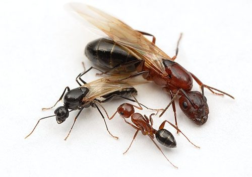 Whats The Best Way To Find A Queen Ant For An Ant Farm Quora